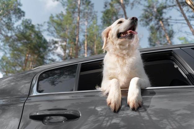 Levar cachorro solto no carro dá multa? Saiba como transportar seu pet com segurança
